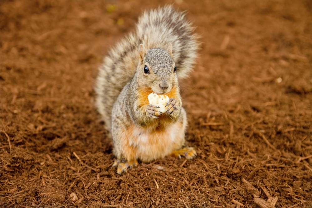 squirrel eating nut in texas