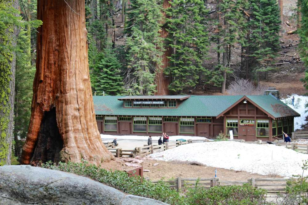 Visit the Giant Forest Museum to see Sequoia Seedlings.