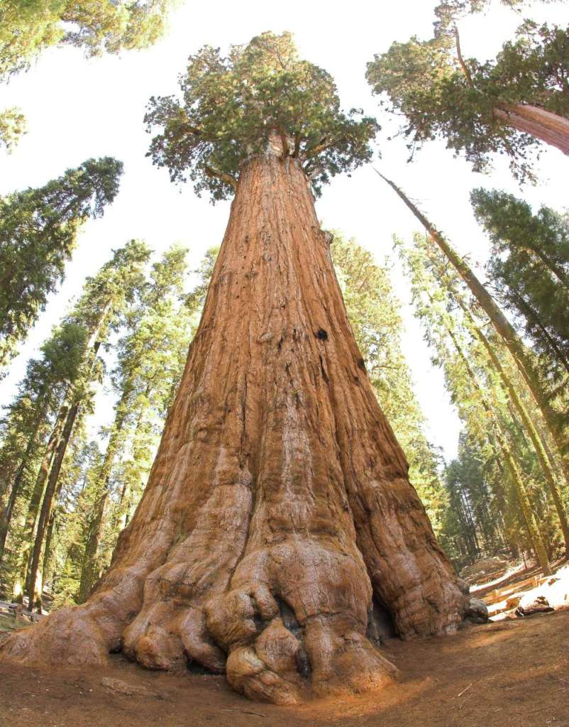 Take a look at the General Sherman Tree.